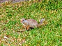 在草的地松鼠在Zion& x27; s国家公园 免版税库存图片
