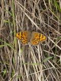 在草的墙壁棕色蝴蝶 免版税库存图片