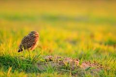在草的大眼睛 挖洞猫头鹰,雅典娜cunicularia,与美丽的晚上太阳,动物在自然栖所, Mato Gr的习惯晚睡的人 库存照片