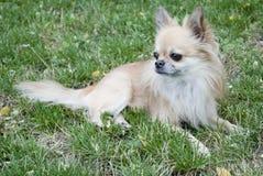 在草的奇瓦瓦狗 库存图片
