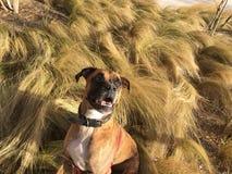 在草的好奇狗 库存图片