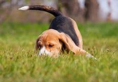 在草的嬉戏的小猎犬小狗 库存图片