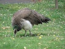 在草的孔雀 免版税图库摄影