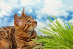 在草的孟加拉猫 免版税库存照片