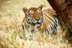 在草的孟加拉老虎在夏日 免版税库存图片