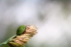 在草的宏观臭虫臭虫 免版税库存照片