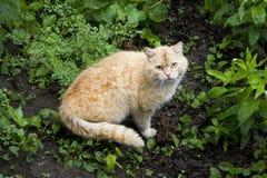 在草的害羞的猫 红色猫 免版税库存图片