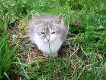在草的家猫 免版税库存图片