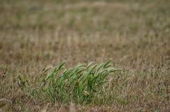 在草的小尖峰 免版税库存照片