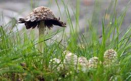 在草的小狂放的伞菌 免版税库存图片