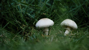 在草的小狂放的蘑菇在晴朗的春天,夏天早晨 免版税图库摄影