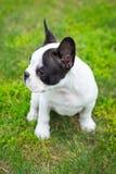 在草的小狗 免版税图库摄影