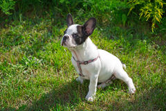 在草的小狗 库存照片