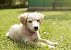 在草的小狗 图库摄影