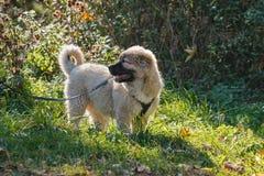 在草的小狗 库存图片