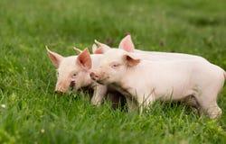 在草的小猪 库存图片