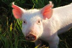在草的小猪 免版税图库摄影