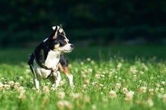 在草的小的奇瓦瓦狗 免版税库存照片
