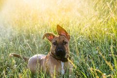 在草的小的小狗 库存图片