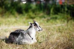 在草的小的山羊 免版税库存图片