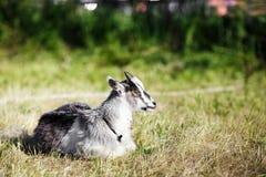 在草的小的山羊 库存图片