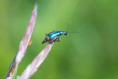 在草的小的臭虫 库存图片