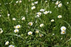在草的小的雏菊 免版税库存照片