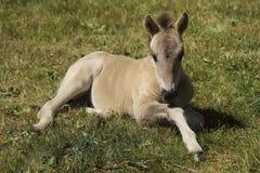 在草的小的马驹 免版税库存图片
