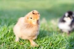 在草的小的鸡 库存照片