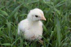 在草的小鸡 库存图片