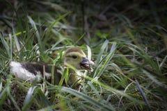 在草的小鸭子 免版税库存照片