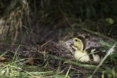 在草的小鸭子 免版税库存图片