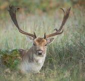 在草的小鹿后面开会 库存照片