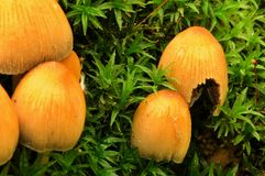在草的小黄色蘑菇 免版税库存照片