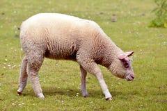 在草的少年绵羊 免版税库存图片