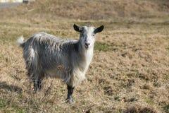 在草的山羊在一个晴天 图库摄影