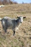 在草的山羊在一个晴天 库存照片