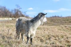 在草的山羊在一个晴天 免版税库存照片