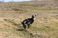 在草的山羊在一个晴天 免版税库存图片
