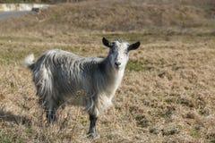 在草的山羊在一个晴天 库存图片