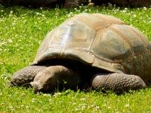 在草的巨型乌龟 免版税库存照片