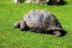 在草的巨型象牙乌龟 免版税库存图片