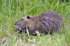 在草的巨水鼠 库存照片
