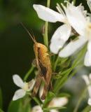 在草的布朗幼小蚂蚱 库存照片