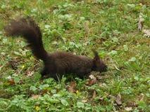 在草的布朗灰鼠 免版税库存照片