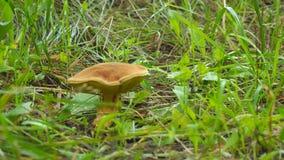 在草的布朗蘑菇 股票录像