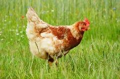 在草的布朗鸡 库存图片