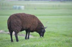 在草的布朗绵羊 库存照片
