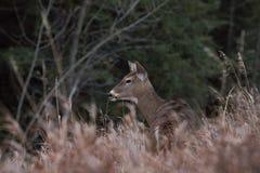 在草的年轻鹿外形 免版税图库摄影