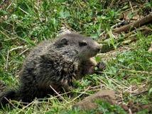 在草的年轻Groundhog 免版税库存图片